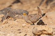 Crowned Sandgrouse (Pterocles coronatus) Near a water pool Photographed in the Negev Desert, israel in June