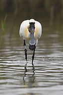 Black-faced Spoonbill, Platalea minor, stand in water and catch fish, Tainan, Taiwan