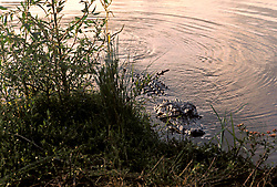 Stock photo of an alligator approaching the bank.