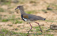 Southern Lapwing (Vanellus chilensis), The Pantanal, Mato Grosso, Brazil