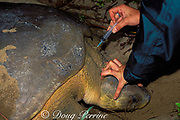 U. Queensland grad student Kendra Coufal draws blood sample from Australian flatback sea turtle, Natator depressus, to test for environmental pollutants, Curtis Island, Queensland, Australia