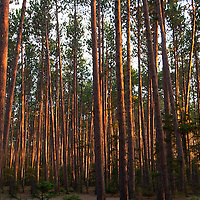 Just outside of the small Maine village of Eustis, nestled among the majestic Red Pines is Cathedral Pines Campground.  Camping next to and under these thin, tall pine trees is an experience all should try to accomplish.