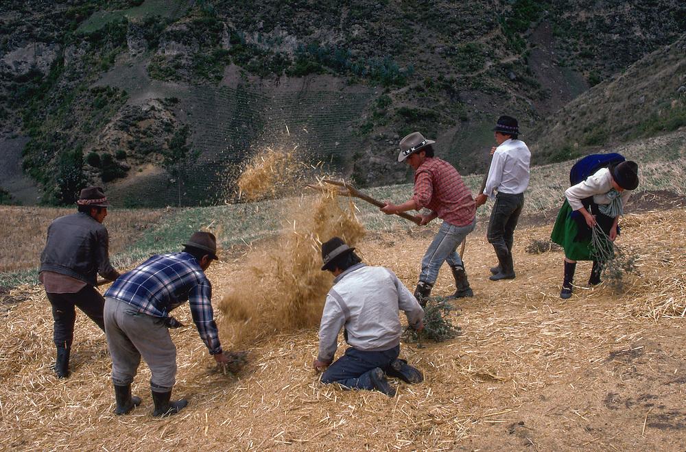 Barley Harvest,near Cuenca, Ecuador