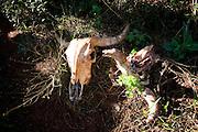 Itatiaiucu_MG, Brasil...Ossada de boi...The cattle carcass...Foto: LEO DRUMOND / NITRO