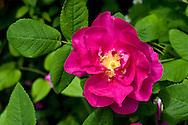A Hansa Rose (Rosa rugosa 'Hansa') flowering in the summer.