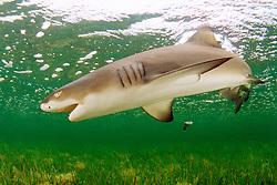 lemon shark, .Negaprion brevirostris, .Little Card Sound, Biscayne Bay, .Key Largo, Florida (Atlantic)