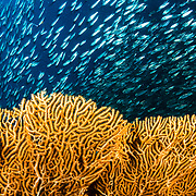 A school of sardines (Clupeidae) swims past a seafan. Image made off Moalboal, Philippines.