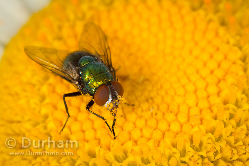 A green bottle fly (family: Calliphoridae) feeding on pollen and nectar from a daisy flower. Western Oregon.