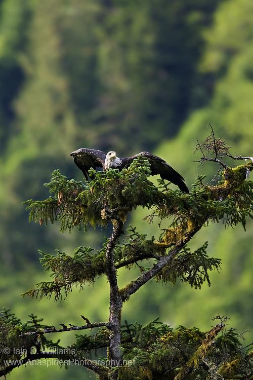 Bald Eagle (Haliaeetus leucocephalus) - Canada