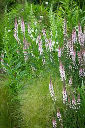 Linaria purpurea 'Canon Went' (check id) with Epilobum angustifolium album (White willowherb) and Stipa tenuissima