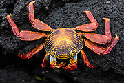 Sally Lightfoot Crab (Grapsus grapsus)<br /> Urvina Bay, Isabela Island<br /> Galapagos<br /> Ecuador<br /> South America
