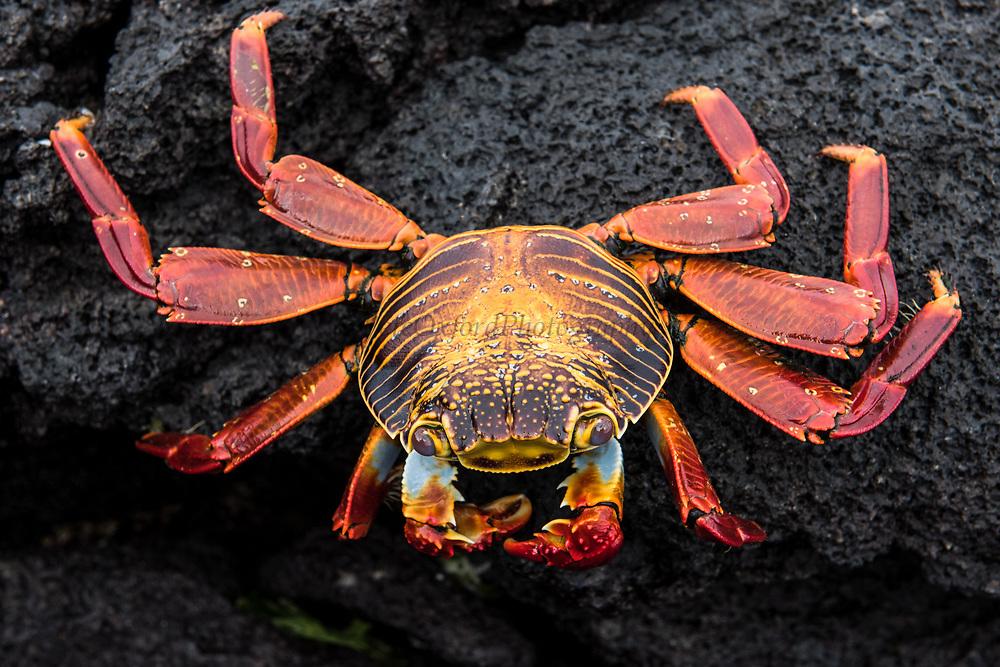 Sally Lightfoot Crab (Grapsus grapsus)<br /> Urvina Bay, Isabela Island<br /> Galapagos<br /> Ecuador<br /> South America