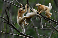 Some baby Sichuan Golden Snub-nosed Monkeys, Rhinopithecus roxellana, are playing in the trees at Yangxian Nature Reserve, Shaanxi, China.