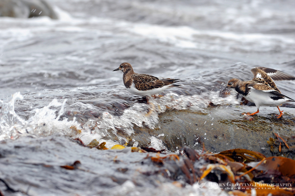 The Ruddy Turnstone (Arenaria interpres) is a small wading bird. It is a highly migratory bird breeding in northern parts of Eurasia and North America and flying south to winter on coastlines almost worldwide. It is the only species of turnstone in much of its range and is often known simply as Turnstone.