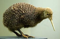 Espécie rara do Kiwi Bird também pode ser encontradas no museu de Auckland. O pássaro é o símbolo do País e sofre o risco de extinção. Hoje, ele é mais encontrado em Museus do que em seu habitat natural. FOTO: Lucas Uebel/Preview.com