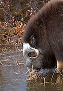 """Alaska; Muskox (Ovibos moschatus) cow drinking from a tundra pond on the Seward Peninsula, outside of Nome.  Muskox, called omingmak meaning """"the animal with skin lake a beard"""" by the local Inupiaq people."""