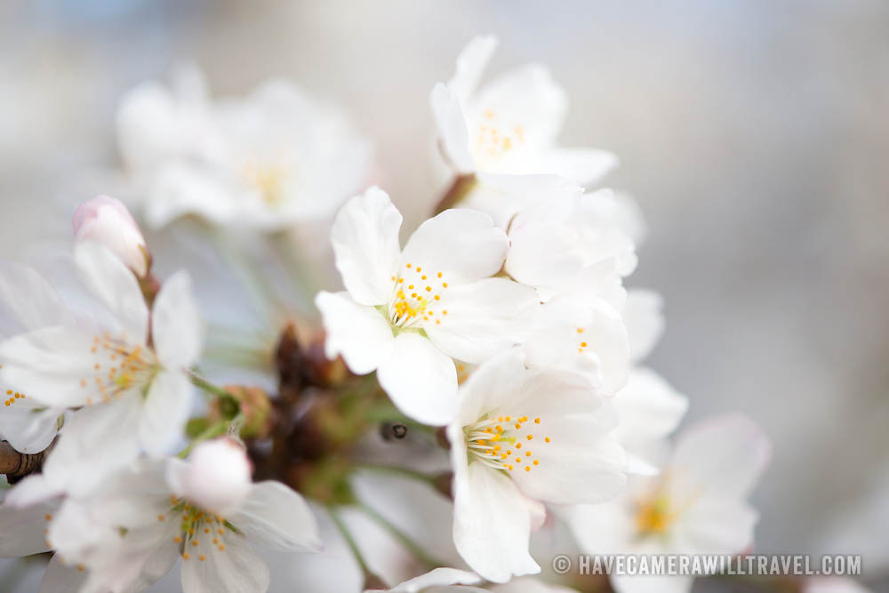 Close-up of the white flowers of Washington DC's cherry blossoms.