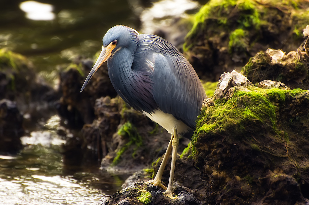 """Tricolored heron hunting crabs and small fish at J.N.""""Ding"""" Darling National Wildlife Refuge."""