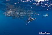 striped marlin, Kajikia audax (formerly Tetrapturus audax ), feeding on baitball of sardines or pilchards, Sardinops sagax, off Baja California, Mexico ( Eastern Pacific Ocean ); videographer Skip Stubbs in background; MR 398