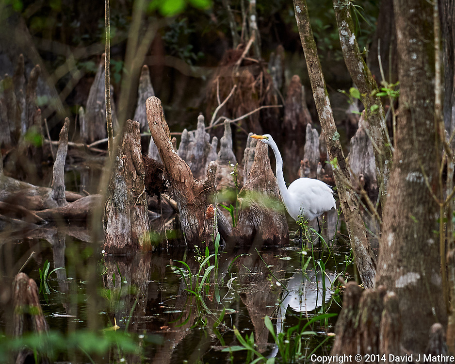 Great Egret in Big Cypress Swamp. Image taken with a Nikon Df camera and 70-200 mm f4 lens (ISO 1100, 200 mm, f/4, 1/400 sec).