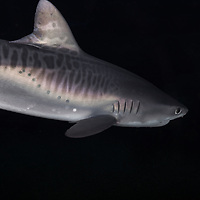 Apex Predator, Tiger Shark, Galeocerdo cuvier, Péron & Lesueur, 1822, Maui, Hawaii