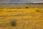 Tens of thousands of California goldfields (Lasthenia californica) blanket the Carrizo Plain in the southern San Joaquin Valley of California. The Carrizo Plain is the single largest remaining section of native grasslands, which used to be common in Califonria.