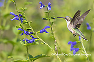 01162-15114 Ruby-throated Hummingbird (Archilochus colubris) at Blue Ensign Salvia (Salvia guaranitica ' Blue Ensign') in Marion County, IL