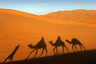 Shadow of a berber man leading three camels though the sand dunes of Erg Chebbi on the periphery of the Sahara desert near Merzouga in eastern Morocco.