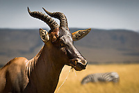 A close up of a Topi with a common Zebra in the background in the Masai Mara National Park, Kenya