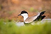 Spur-winged Lapwing (Vanellus spinosus) standing in water, Israel, September