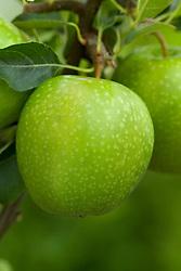 Apple 'Granny Smith' - Malus