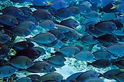 A Trumpetfish swimming & hiding among Blue Tangs - Southwater Key, Belize.