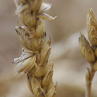 A close up look at what makes your daily bread...wheat