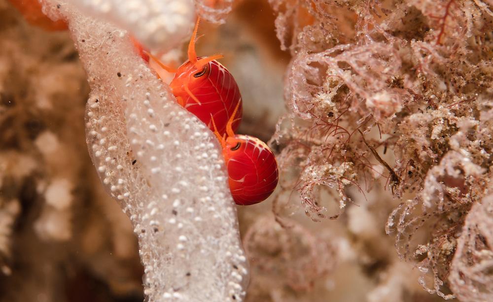 Coral Hopper Amphipod, Amaryllis sp