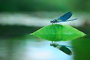 A male Banded Demoiselle (Calopteryx splendens) rests on a water-lily leaf; Eider, Kiel, Germany | Das Männchen einer Gebänderten Prachtlibelle (Calopteryx splendens) sitzt auf einem Blatt der Teichrose. Eider, Kiel, Deutschland