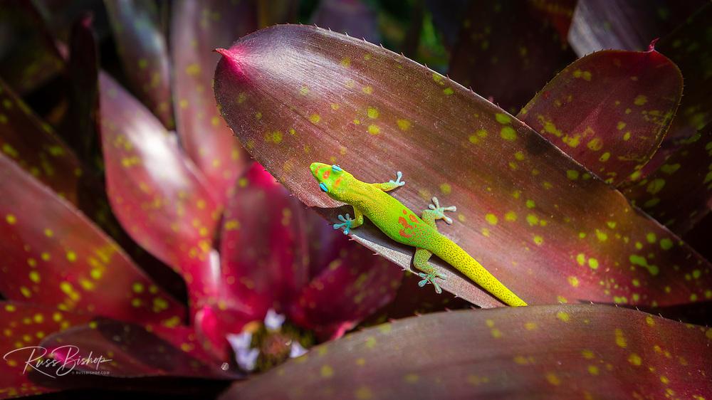 Gecko on tropical foliage, Kona Coast, The Big Island, Hawaii USA