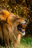 A male lion bares it's teeth, Lion Park, near Johannesburg, South Africa.