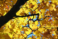 "Hidden heart in a maple's branches says ""I love Fall!"""