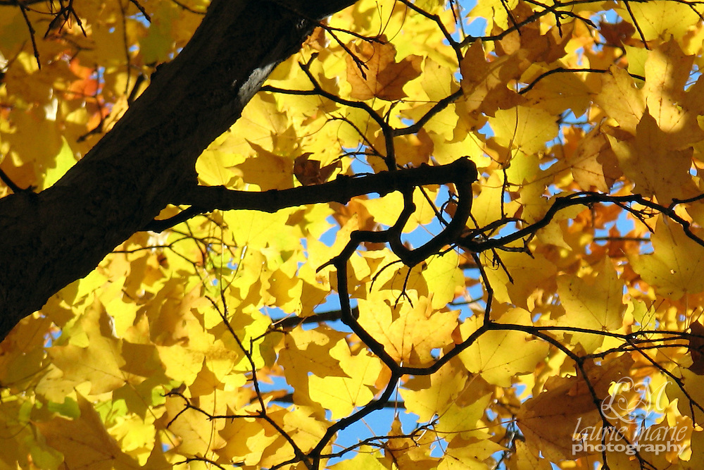 """Hidden heart in a maple's branches says """"I love Fall!"""""""