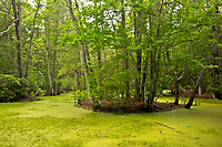 NC01291-00...NORTH CAROLINA - Marshy pond and an island of maritime forest on the Outer Banks at Nags Head Woods Reserve; a National Natural Landmark cared for by the Nature Conservancy.
