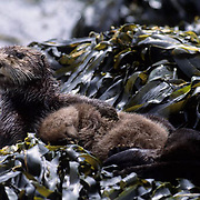 Sea Otter (Enhydra lutris) mother cuddling with her baby while resting on seaweed covered rocks in southwest Alaska.