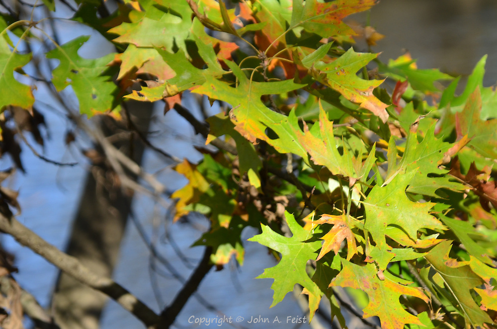 Hearty oak leaves just beginning to take on their fall colors.  Hillsborough, NJ