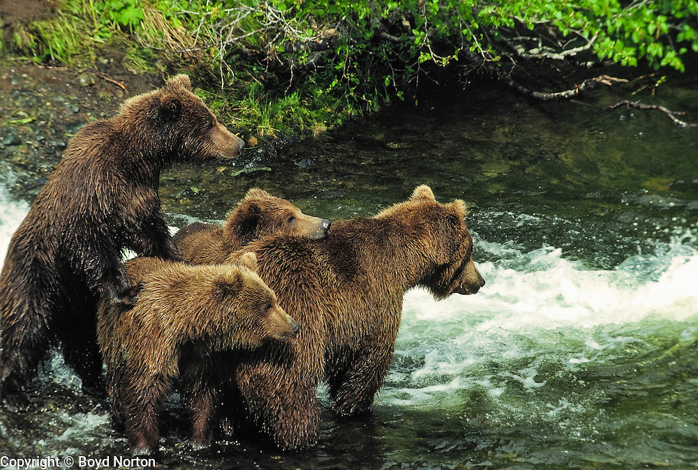 Grizzly bear (brown bear) with cub(s) ~2 years old, McNeil River State Game Sanctuary, Kamishak Bay, Alaska. With cub. Endangered species. Climate change affecting migration of salmon, primary food source for these bears.