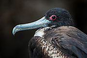 Great Frigatebird (Fregata minor) female<br /> North Seymour Island<br /> Galapagos Islands<br /> ECUADOR.  South America