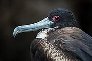 Great Frigatebird (Fregata minor) female<br /> North Seymour Island<br /> Galapagos Islands<br /> ECUADOR.  South America
