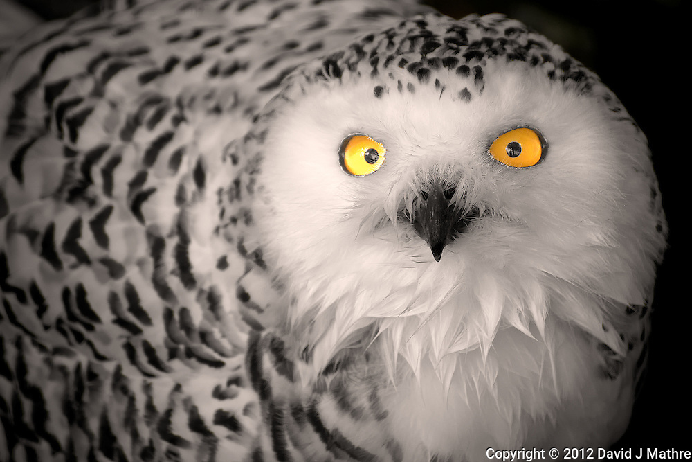 Female Snowy Owl at the Antwerp Zoo. Image taken with a Nikon D800 and 70-300 mm VR lens (ISO 400, 300 mm, f/5.6, 1/200 sec). Additional Processing with Capture One Pro 6 and Photoshop CS6.
