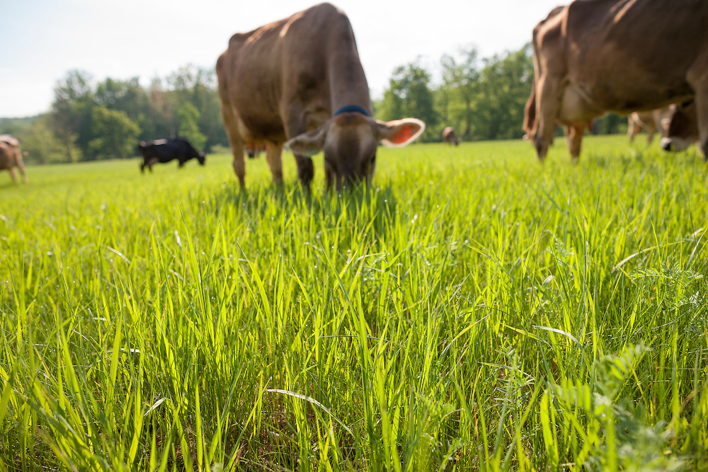 Brown Swiss cow grazing