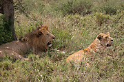 Lion and lioness resting in the grass at Serengeti National Park, Tanzania