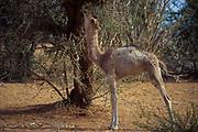 Camels looking for food in desertified Sahel.