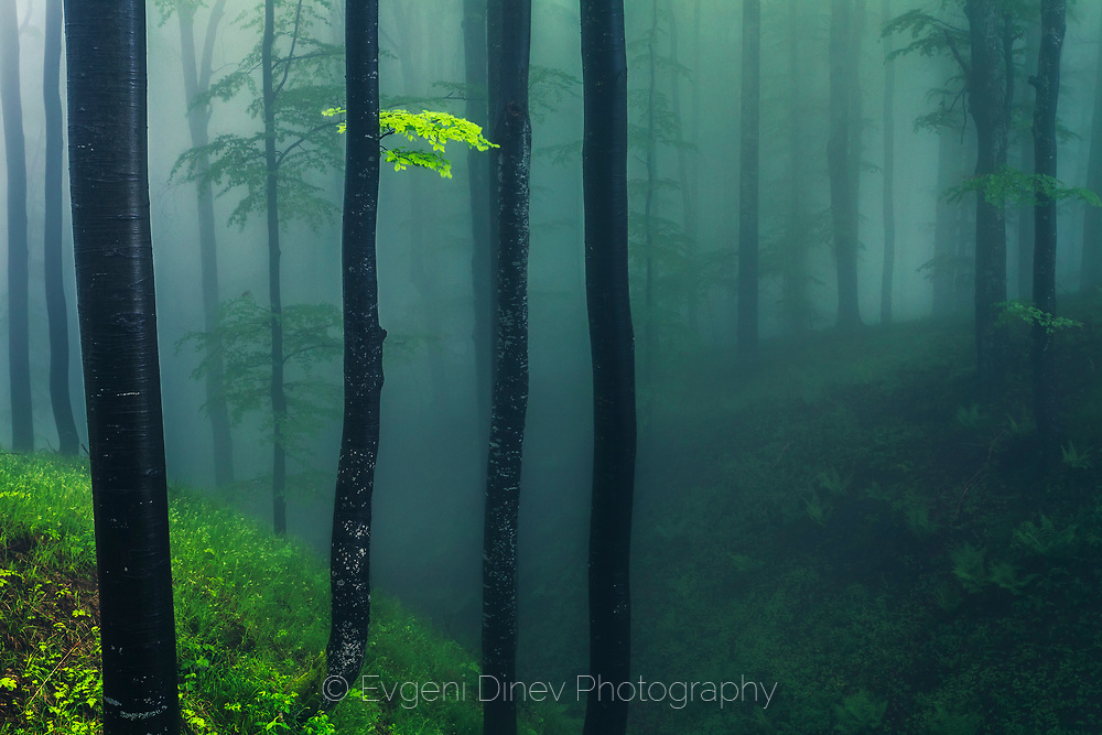Misty spring beech forest in Central Balkan mountain